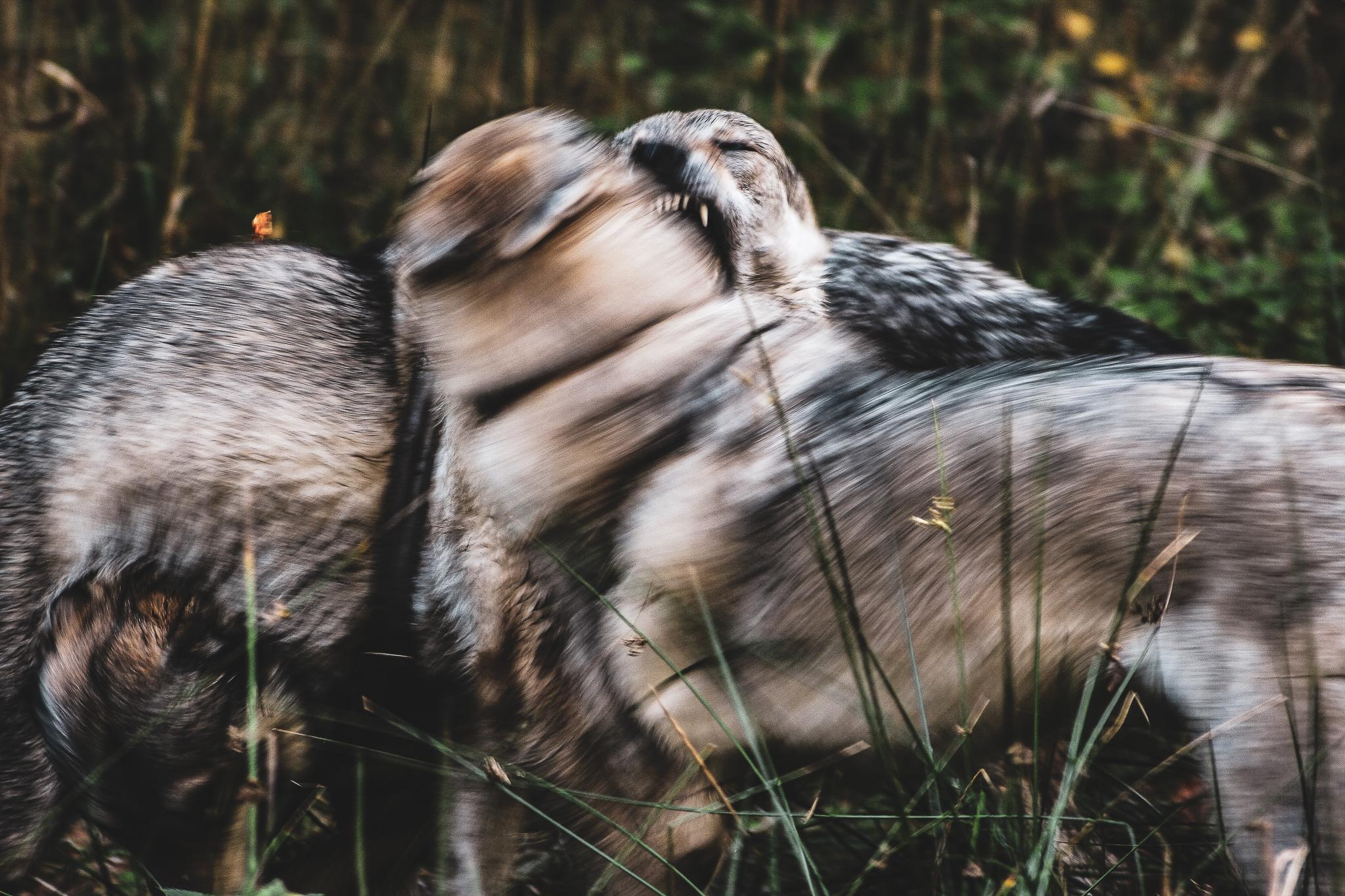 gryzące się wilki wilczaki